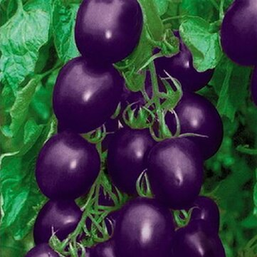 20Pcs Purple Tomato Seeds Cherry Tomatoes Balcony Bonsai Organic Fruits Cherry Garden Seeds
